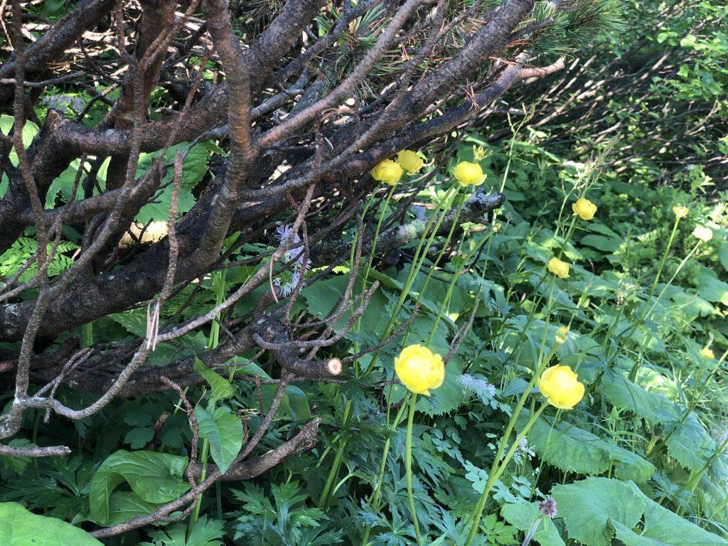 hochlecken trollblumen
